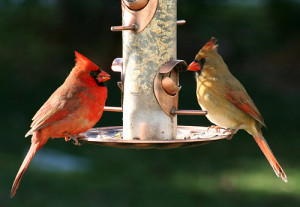 cardinals-at-feeder