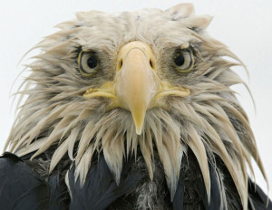 Wet bald eagle
