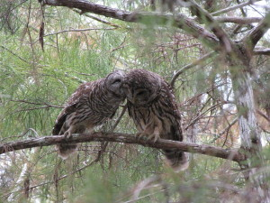 Barred Owls kissing